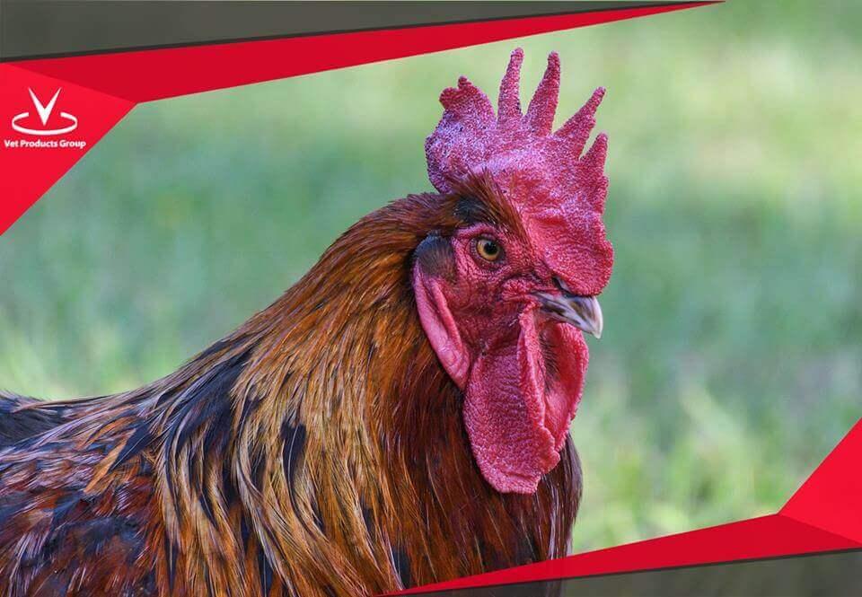 พยาธิลำไส้ปัญหาที่ไม่ควรมองข้าม ในฟาร์มไก่ไข่