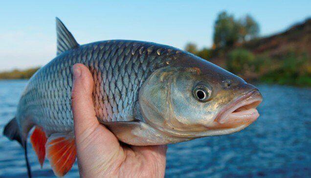 ปลากินเจแล้วโตดีจริงหรือ?